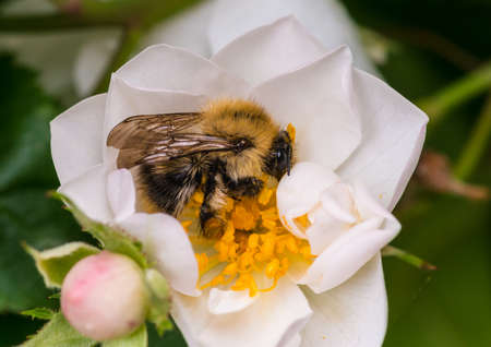 A macro shot of a common carder bee collecting pollen from a white rose.