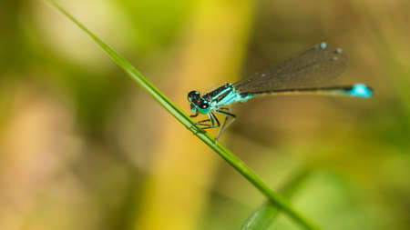 A macro shot of a blue tailed damselfly holding onto a blade of grass.