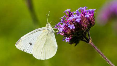 Una macro foto de una gran mariposa blanca alimentándose de una flor de verbena.
