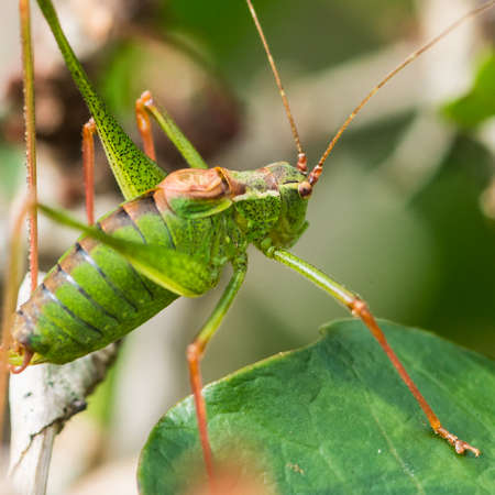 A macro shot of a speckled bush cricket.