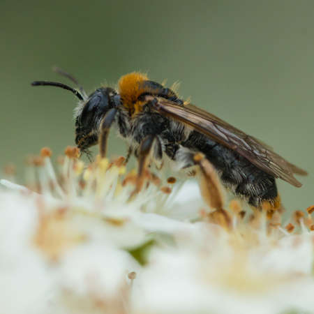 A macro shot of an early mining bee collecting pollen from some pyracantha bush blossom.