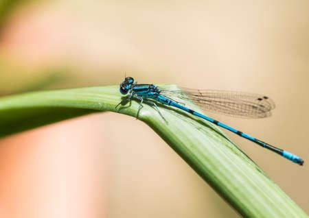 A macro shot of a blue damselfly sitting on a green leaf. Stock Photo