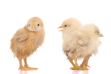 baby chick over a white background photo