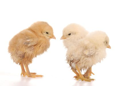 baby chick over a white background Stock Photo - 5073663