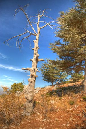 cedars: The virgin forest which shed the leaves(HDR)