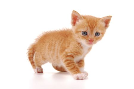 whiskar: Kitten on a white background
