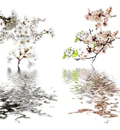 flor de durazno: flores de durazno y de reflexi�n sobre blanco