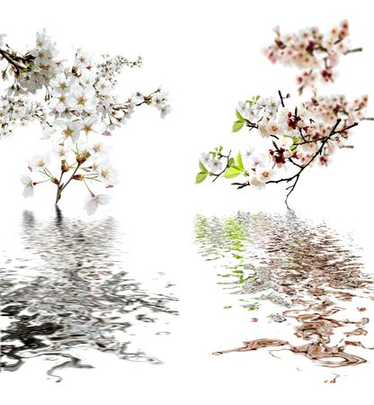 peach flowers and reflection over white  Stock Photo