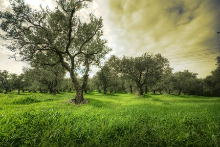 Olives tree in a green field and dramatic sky  photo