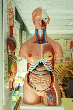 organ donation: human anatomy model in a biology class  Stock Photo