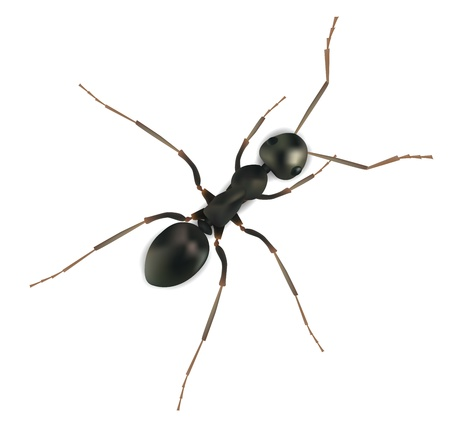 Realistic  Ant Isolated on White  Vector