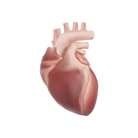 Heart Realistic Anatomy vector eps illustration isolated on white background
