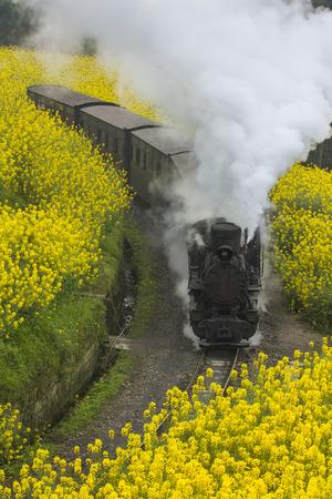 coleseed: Steam train run through rapeseed flower field in Chengdu, China