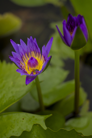 Lotus blossom with bee inside photo