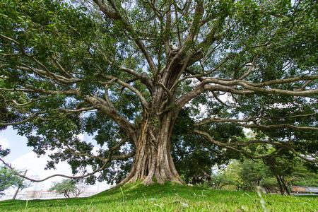 Giant Bodhi tree, Anuradhapura, Sri LankaTaken 24 Jan 2014