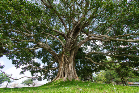 anuradhapura: Giant Bodhi tree, Anuradhapura, Sri LankaTaken 24 Jan 2014