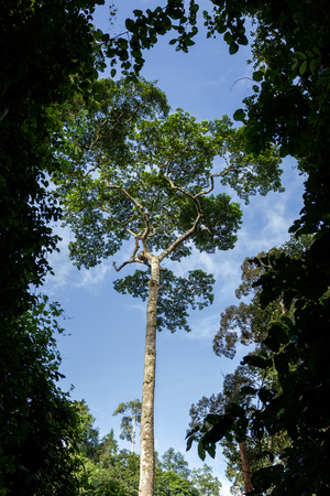 yai: A big tree in rainforest of Thailand Stock Photo