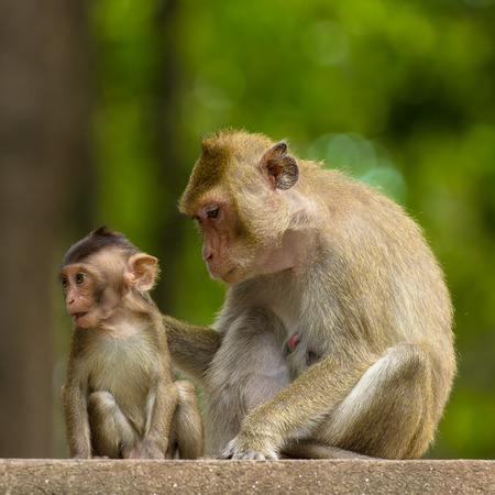 simian: Mom and baby monkey in Thailand Stock Photo