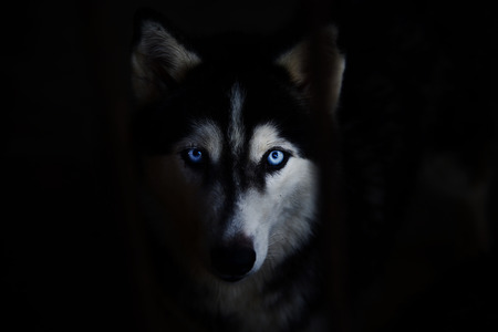 Siberian husky face on a black background.