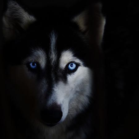 lobo: La cara del perro esquimal siberiano en un fondo negro.