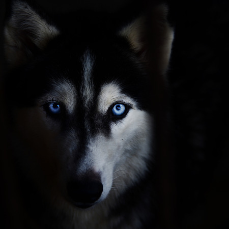 Siberian husky face on a black background.