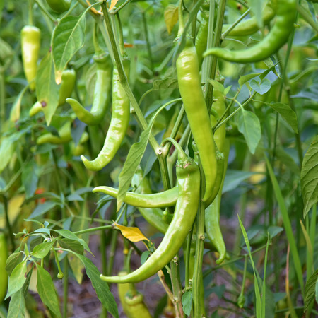 tabasco: Thailands agriculture, Green raw chilli peppers on a tree. Stock Photo