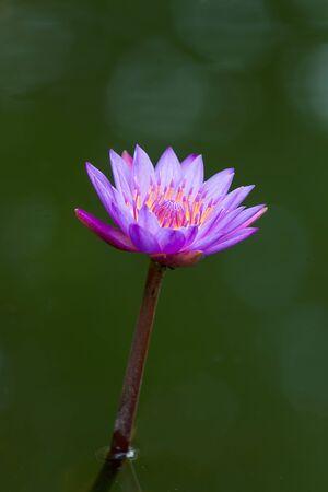 nenuphar: Natural lotus blossom focus on pollen