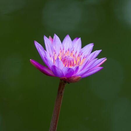 lilia: Natural lotus blossom focus on pollen