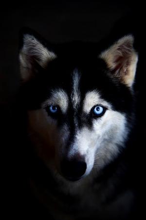 whelp: Siberian husky face on a black background.