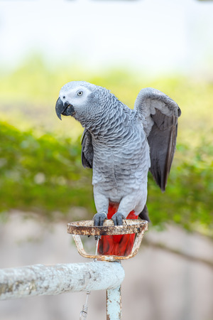 grey: Closeup of african grey parrot Stock Photo
