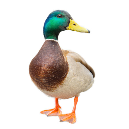 male mallard duck on white background with work paths
