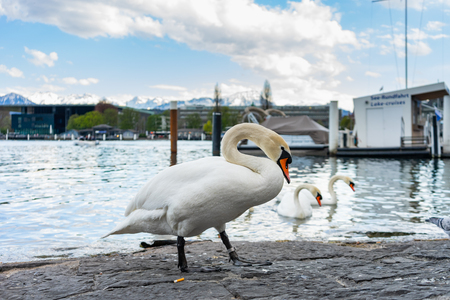 White swans standing on the bank near the pier of  lake Lucerne.