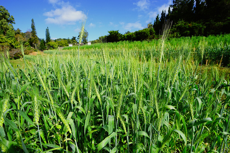 Close up of green wheat in cultivated agricultural field. Agriculture, agronomy and farming background. Stock Photo