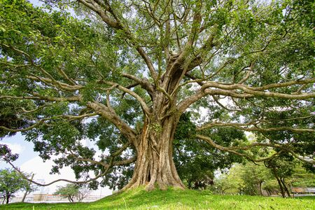 Great bhodi tree near Mirisawetiya dagaba, sacred tree in Buddhist believe. Imagens