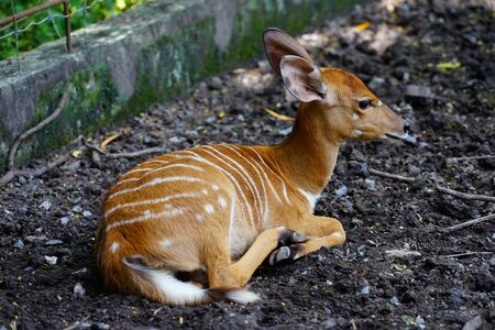 Nyala is a native animal in South Africa. Distinctive point is a spiral horns (male only) twist backwards in the plane of the face.