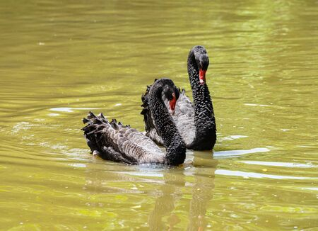 A couple of black swan courting  in the lake.