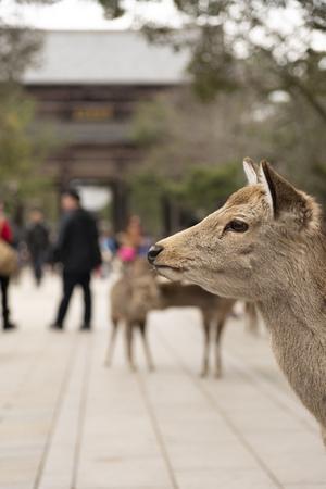 Nara, Japan- MARCH 3, 2015 : A local Japan deers walking in walkway to Todai-ji temple in Nara park. world heritage city in Japan Sajtókép