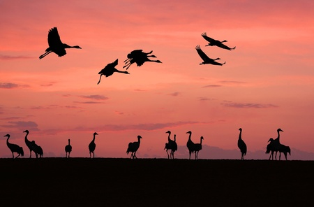 Cranes   grus grus  against a red sunset sky  photo