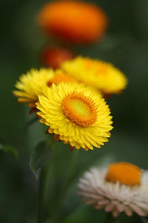 gloden: Yellow Straw Flower