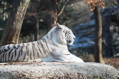 sitting White wild Tiger on the rock in the Forest