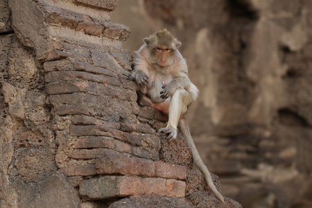 Monkey sitting on ancient damaged brick wall in the summer season, Candid old animal wildlife, mammal on historical travel destination in Asia, home decoration wallpaper Stock Photo