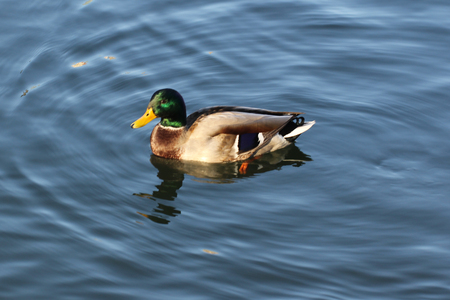 Peaceful fluffy duck sunbathing swimming in the green blue lake at national park, animal wildlife backgrounds, commercial advertisement