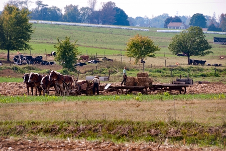 Amish Farmers Working with There Horses on Sunny Autumn Day, Harvesting the Fields