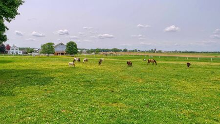 Ponies and Miniature Ponies Grazing in Field on a Sunny Summer Day Standard-Bild
