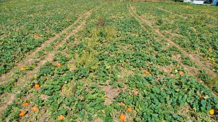 Aerial downward view of pumpkins growing in the fields on a sunny day 스톡 콘텐츠 - 147957348