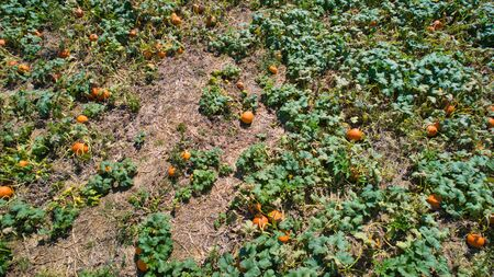 Aerial downward view of pumpkins growing in the fields on a sunny day 스톡 콘텐츠 - 147957385