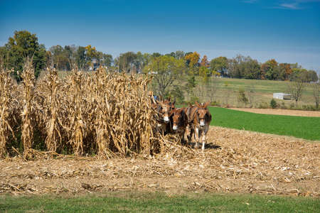 A cornfield with donkeys dragging the farming equipment