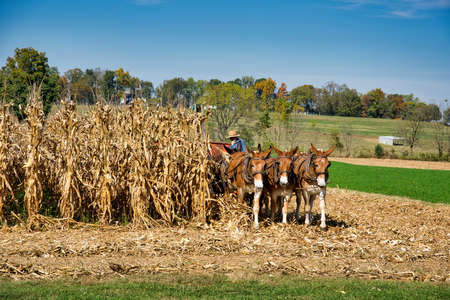 A cornfield with donkeys dragging the farming equipment 스톡 콘텐츠 - 150809432