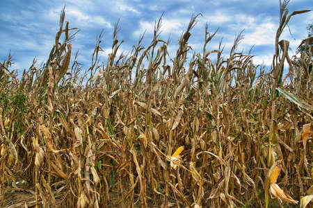A cornfield under a blue cloudy sky 스톡 콘텐츠 - 150809874