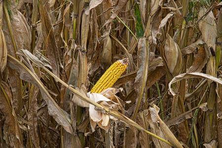 A closeup shot of a cornfield 스톡 콘텐츠 - 150973363